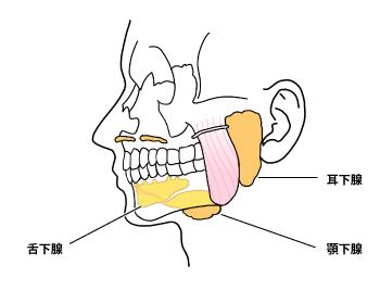 耳下腺の場所